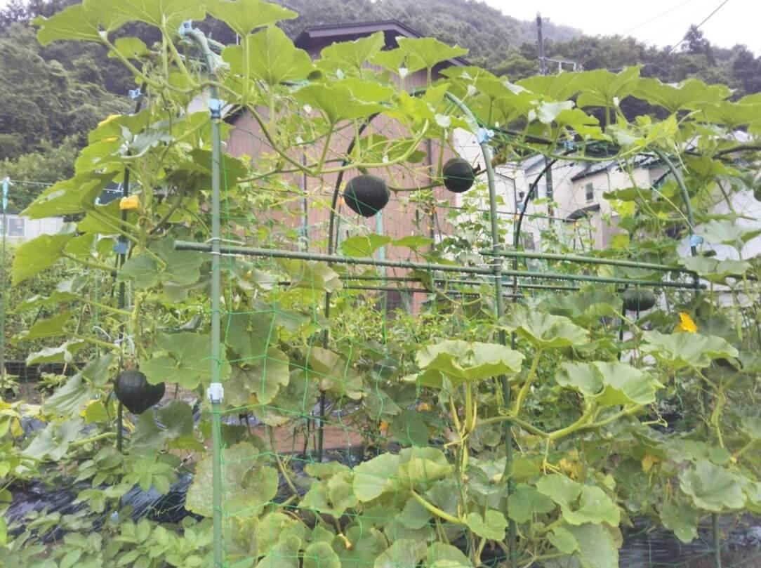 カボチャの空中栽培