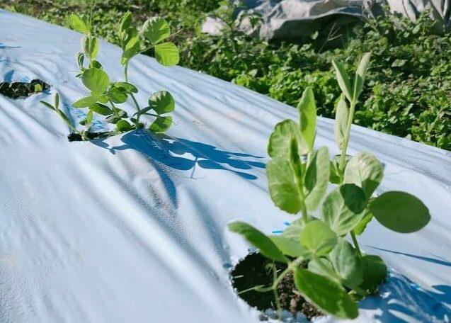 スナップエンドウ 越冬に最適な草丈