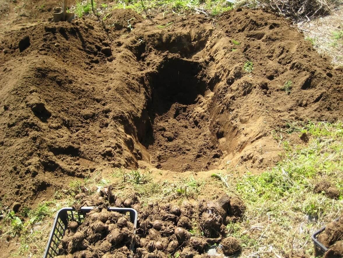 収穫後の里芋を保存する穴
