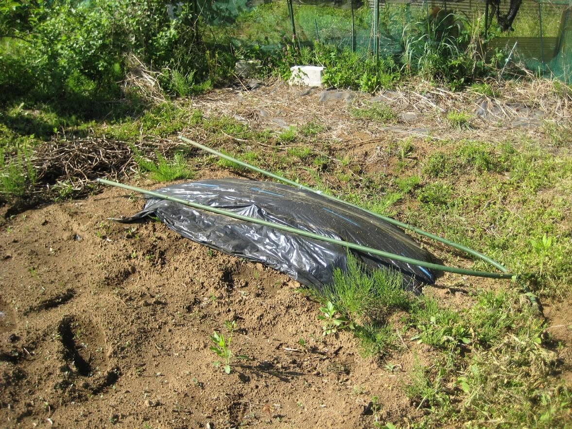 収穫後の里芋の保存方法